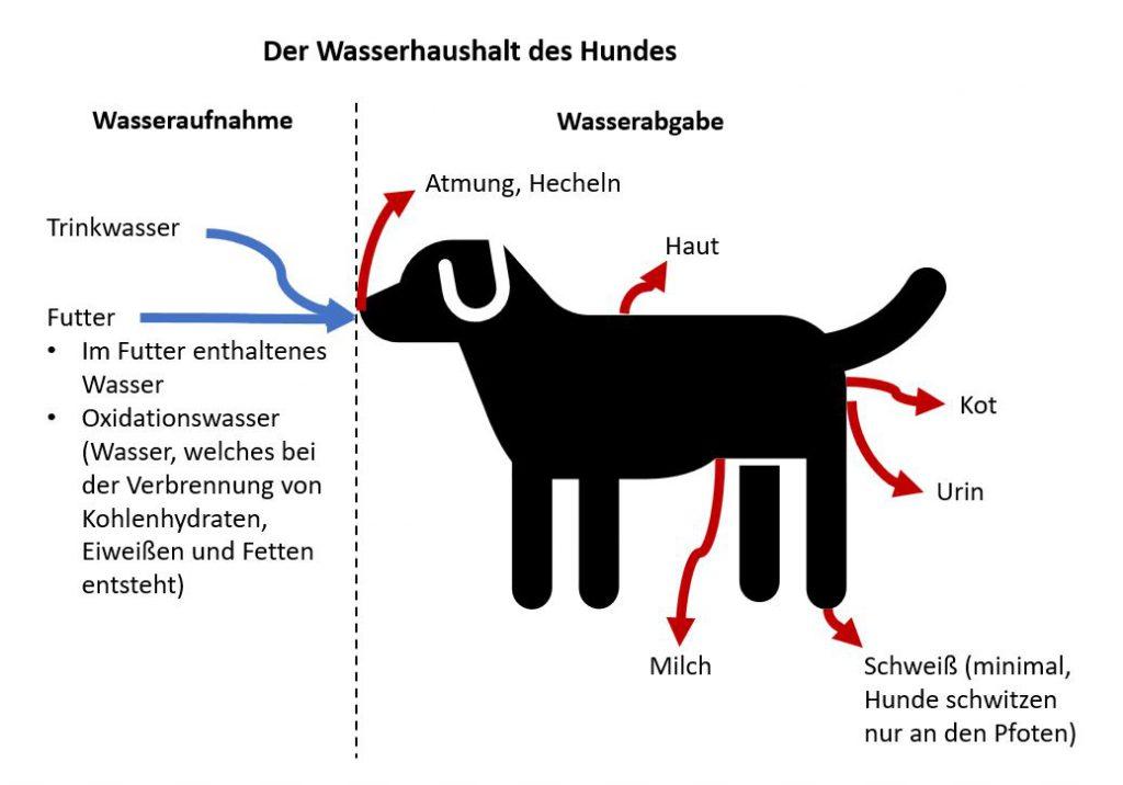 Wasserhaushalt des Hundes