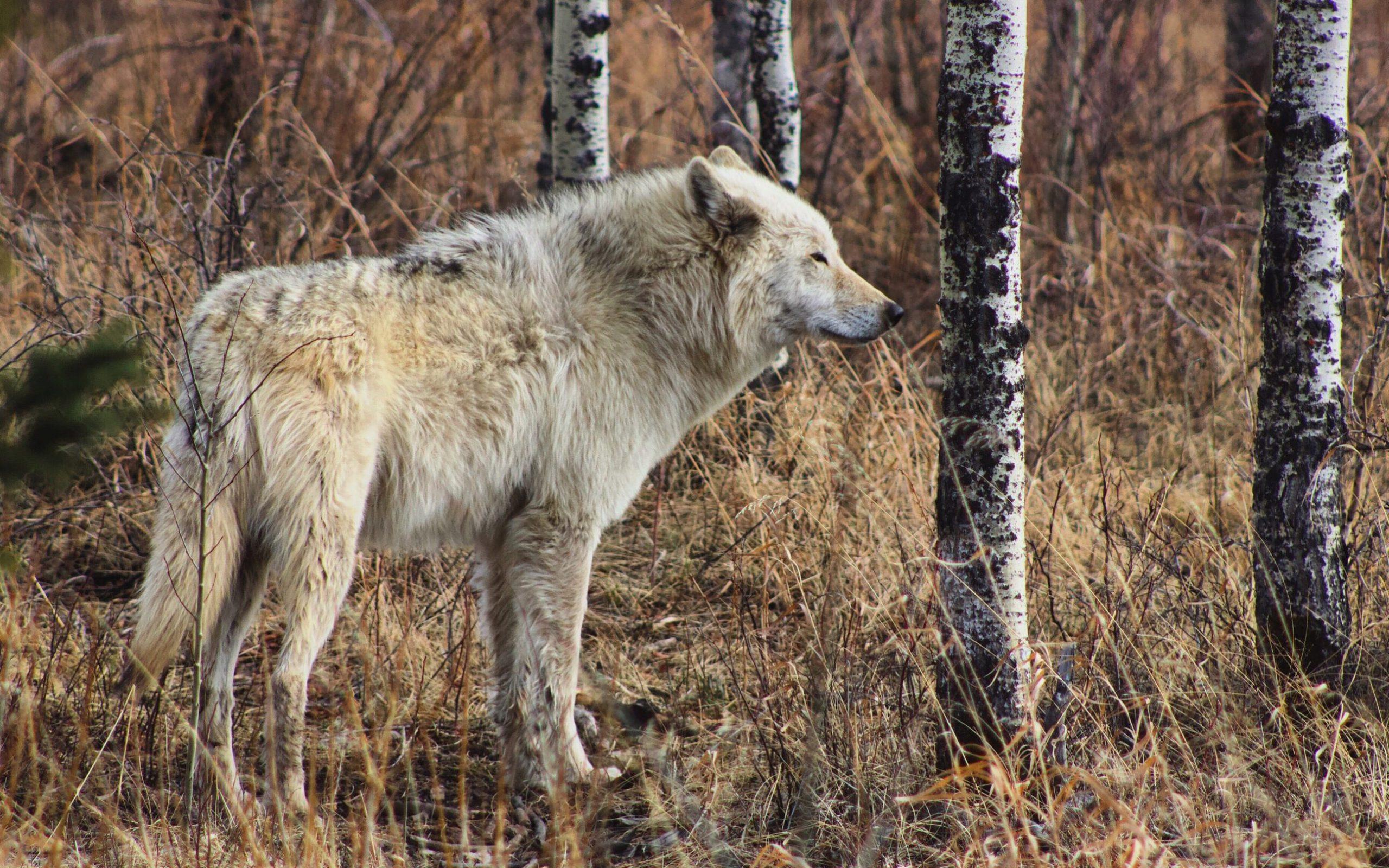 white wolf near trees