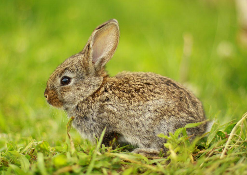 rabbit in gras